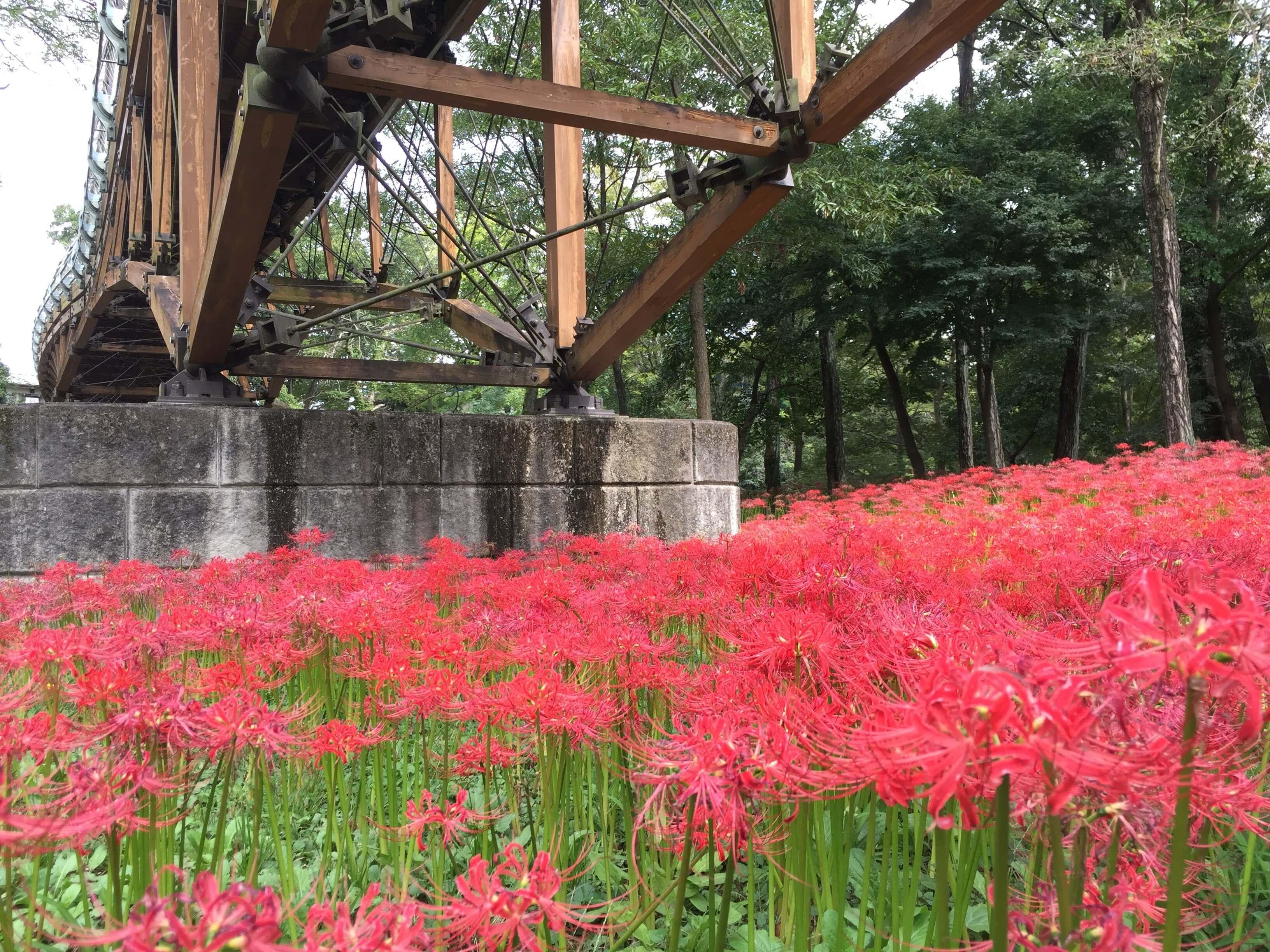 """เทศกาลดอกไม้สีแดง """"ฮิกังบะนะ"""""""