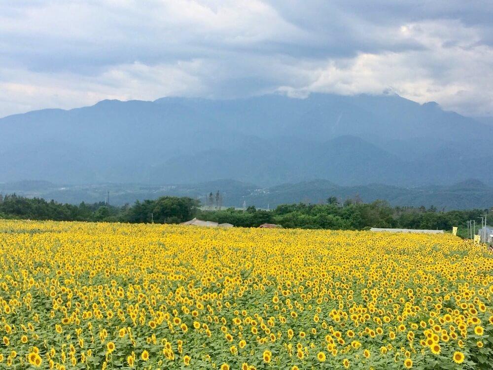 เรียกโชคลาภแรงๆที่ศาลเจ้ามิโซหงิ อิ่มเอมกับธรรมชาติหน้าร้อน ถ่ายรูปสวยๆที่ทุ่งทานตะวันแห่งยามานะชิ